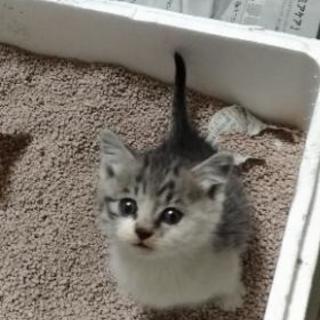 【里親様が決まりました】生後5〜6週間  シマ猫(サバシロ) ♀