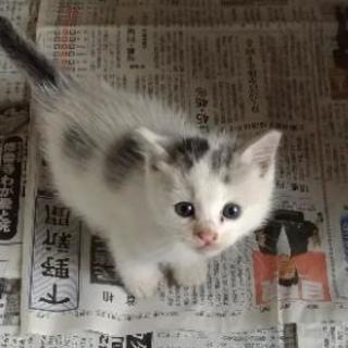 【里親様が決まりました】生後約4週間 シロ猫(グレートビ)♂  410g