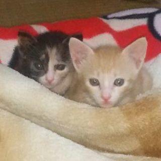 生後約1ヶ月弱の保護した子猫(茶トラ、三毛)です。