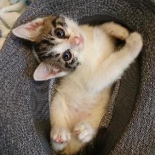 ❤️生後約1ヶ月仔猫ちゃん(メス)❤️