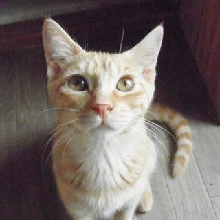三毛猫&薄茶トラ★パーフェクト兄妹 4ヶ月前後