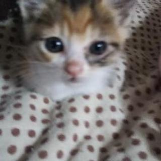 障害があるけどがんばり屋1ヶ月くらいの子猫  てんちゃん