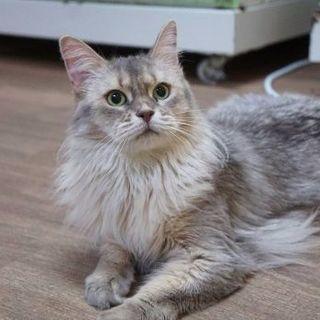 ブリーダー引退猫さん ソマリ4才