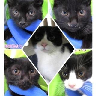 飼い主持ち込みで保健所収容❗️可愛いハチワレと子猫4匹が助けを待...