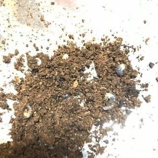 ニジイロ紫紺×SグリーンWEの幼虫