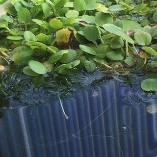 水草 アマフロ