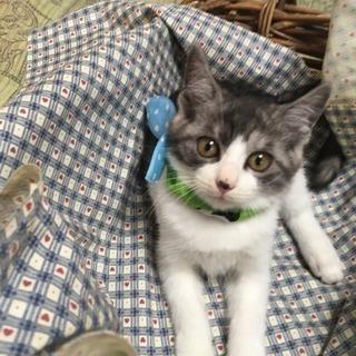 2か月の姉妹猫 グレちゃん