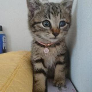 半長毛?短足気味な1ヶ月の女の子 - 猫