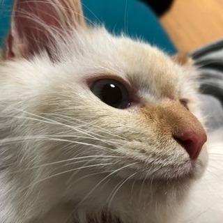 【トライアル中】3ヶ月くらいの長毛メス猫