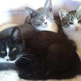 もうすぐ3ヶ月の三兄弟の子猫、里親募集