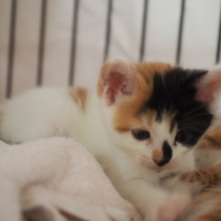 肩でゴロゴロ、母猫スコティッシュフォールドの立ち耳三毛 仔猫2か月