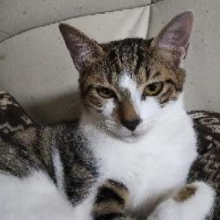 遊ぶの大好きしっかり姉さん3~4ヶ月のキジ白 姫ちゃん - 猫
