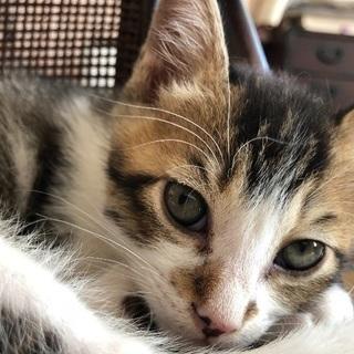 生後2ヶ月のキジ白オス子猫