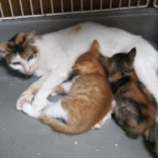 三毛猫母さん  年齢不詳 避妊手術済み