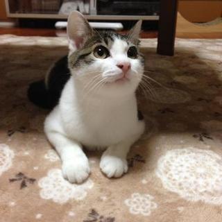 キジシロの子猫