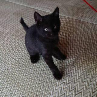 8月6日生まれの黒の元気なオス仔猫です。