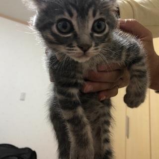 生後二カ月可愛い子猫 オス