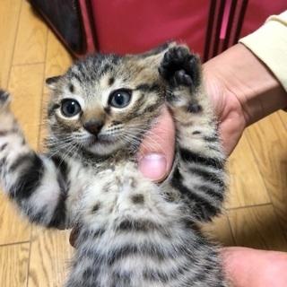 生後二カ月の可愛い子猫オス