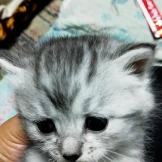 生後1ヶ月の子猫里親さん探してます − 北海道
