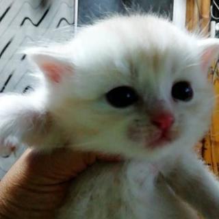 生後1ヶ月の子猫里親さん探してます - 猫
