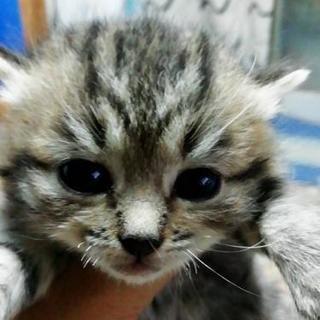 生後1ヶ月の子猫里親さん探してます - 釧路市