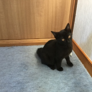 サバ白猫と黒猫の里親さんを募集しています!