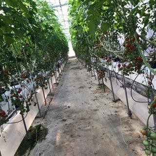 ミニトマトの収穫、剪定などの軽作業