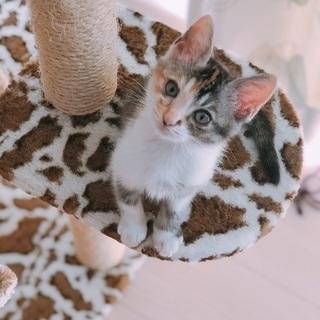 可愛い女の子❤️三毛の子猫ちゃんです❤️