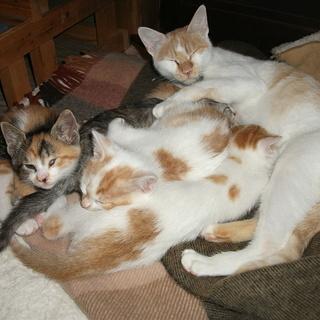 2歳の母ネコと4匹の子猫の里親募集