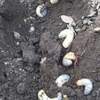 カブトムシの幼虫販売
