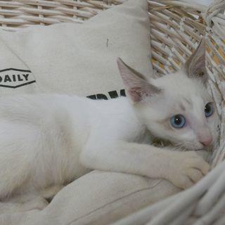 生後3ヶ月捨て猫7匹保護  その1・シロ ブルーアイ