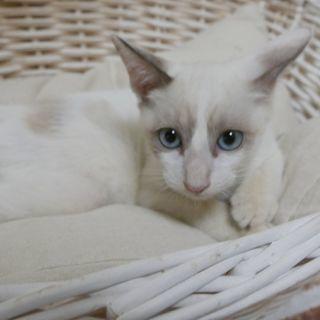 生後3ヶ月捨て猫7匹保護  シロ シャム ブルーアイ