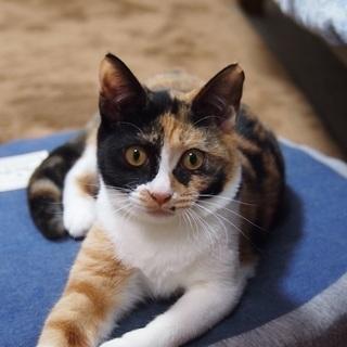 甘えん坊の三毛猫ちゃん