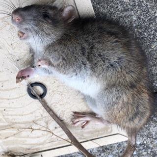 ネズミ徹底駆除業者 クリーン計画