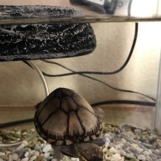 トウブドロガメ(亀)