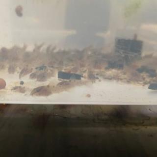 赤コリ稚魚、ブルーグラスグッピー稚魚、ミナミヌマエビ、熱帯魚