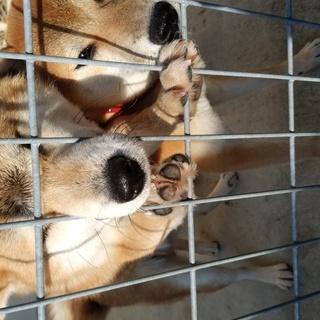 伊勢保健所収容中 柴犬の男の子2匹