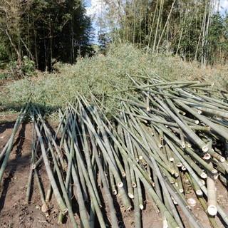 伐採で真竹を100本以上切り倒しました。無料で譲ります。