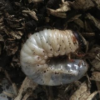 カブトムシ幼虫(天然)