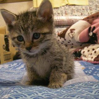 生後1か月の可愛い子猫黒猫とキジトラの女の子たちです。