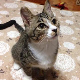 キジシロの子猫♀