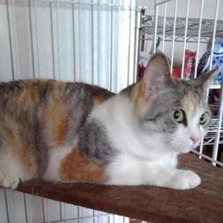 三毛猫 成猫2歳のメス猫 里親さん募集しております。