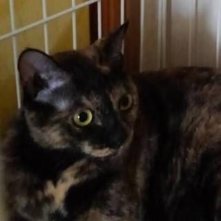 サビ柄 成猫2歳のメス猫 里親さん募集しております。