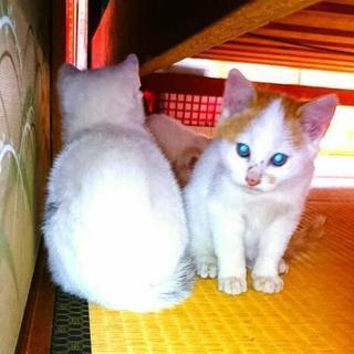 ぶち子猫3兄弟を保護しました。