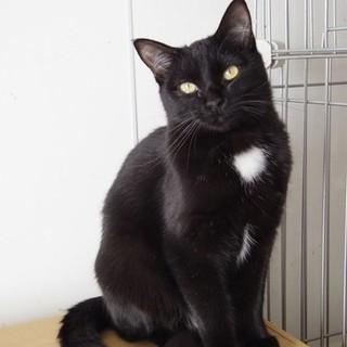 成猫 白い毛がチャームポイント 黒猫ちゃん