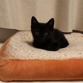 元気いっぱい 黒猫子猫兄妹(約生後2か月半)