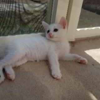 真っ白な子猫