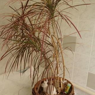 ドラセナ レインボー 観葉植物 テラコッタ鉢植え