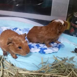 モルモット 赤ちゃん 2匹