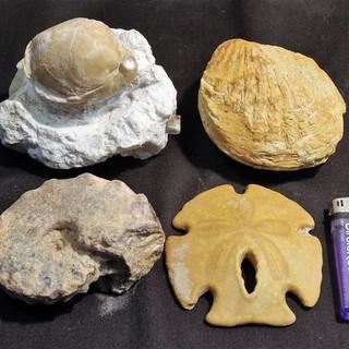 モロッコ産 アンモナイト化石ほか貝類化石